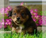 Small #1 Bernese Mountain Dog-Poodle (Toy) Mix