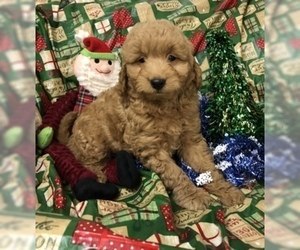 Goldendoodle (Miniature) Puppy for Sale in CONOWINGO, Maryland USA