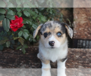 Pembroke Welsh Corgi Puppy for Sale in PEMBROKE, Kentucky USA