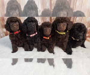Poodle (Miniature) Puppy for Sale in ARDMORE, Oklahoma USA