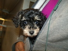 Schnoodle (Miniature) Puppy For Sale in PATERSON, NJ, USA