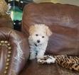 Maltipoo Puppy For Sale near 90004, Los Angeles, CA, USA