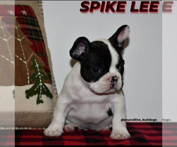 Medium Photo #10 French Bulldog Puppy For Sale in GRAHAM, WA, USA