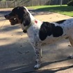 Small #3 Australian Shepherd-Bernese Mountain Dog Mix