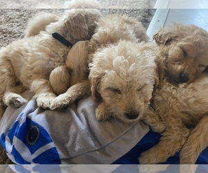 Goldendoodle Puppy for Sale in PLAINFIELD, Illinois USA