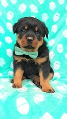 Rottweiler Puppy for sale in LANCASTER, PA, USA