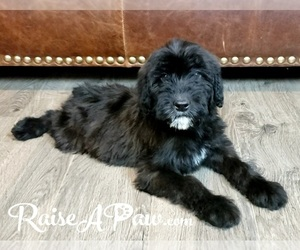 Whoodle Puppy for sale in OVERGAARD, AZ, USA