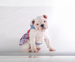 English Bulldog Puppy for sale in CRANSTON, RI, USA