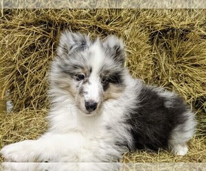 Medium Shetland Sheepdog