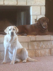 Labrador Retriever Puppy For Sale in LUBBOCK, TX