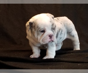 English Bulldog Puppy for Sale in SHIPSHEWANA, Indiana USA