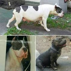 American Bully Puppy for sale in JACKSONVILLE, FL, USA