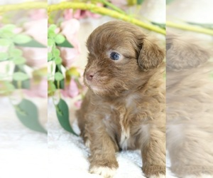 Shih-Poo-ShihPoo Mix Puppy for sale in Toronto, Ontario, Canada