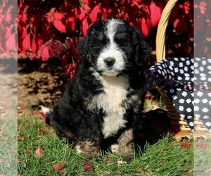 Bernedoodle Puppy for sale in MYERSTOWN, PA, USA