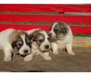Great Pyrenees Puppy for sale in NORA SPRINGS, IA, USA