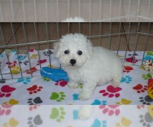 Bichon Frise Puppy for sale in ORO VALLEY, AZ, USA