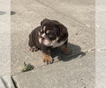 Small Photo #7 English Bulldog Puppy For Sale in DAYTON, OH, USA