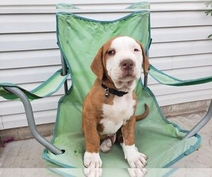 American Bulldog-Unknown Mix Puppy for sale in ALAMOSA, CO, USA