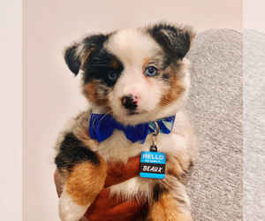 Miniature American Shepherd Puppy for sale in ATL, GA, USA