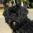 Tibetan Terrier Puppy For Sale in HOLTSVILLE, NY, USA