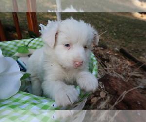 Australian Shepherd Puppy for sale in GRAND RAPIDS, MI, USA