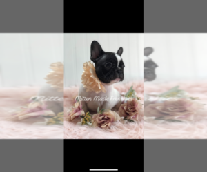 French Bulldog Puppy for Sale in BATTLE CREEK, Michigan USA