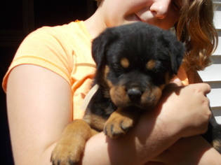 View Ad Rottweiler Puppy For Sale Missouri Mexico Usa