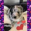 Australian Shepherd Puppy For Sale in MECHANICSVILLE, VA, USA