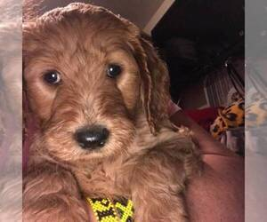 Goldendoodle-Poodle (Standard) Mix Puppy for sale in BALDWIN HILLS, CA, USA