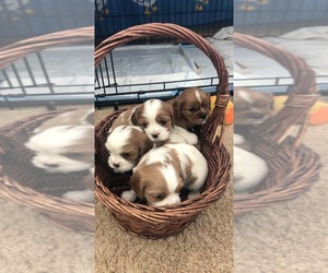 Cavalier King Charles Spaniel Puppy for sale in STACY, MN, USA