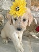 Goldendoodle Puppy For Sale in KISSIMMEE, FL