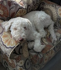 Miniature Labradoodle Dog For Adoption in WATERTOWN, CT, USA