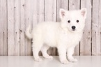 American Eskimo Dog Puppy For Sale in MOUNT VERNON, OH, USA
