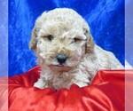 Small #15 Poodle (Miniature)
