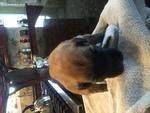 Puppy 5 Bouvier Des Flandres