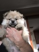 Pomsky Puppy For Sale in EAST HAVEN, CT, USA