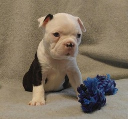 View Ad Boston Terrier Litter Of Puppies For Sale Near Ohio Lima