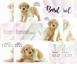 English Cream Golden Retriever-Poodle (Miniature) Mix Puppy for Sale in SPRING BRANCH, Texas USA
