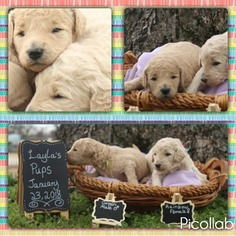 Goldendoodle Puppy For Sale in COVINGTON, GA, USA