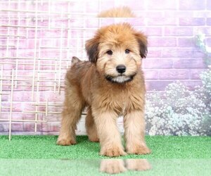 Soft Coated Wheaten Terrier Puppy for sale in BEL AIR, MD, USA