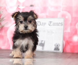 Morkie Puppies for Sale near Woodbridge, Virginia, USA, Page