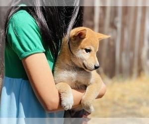 Shiba Inu Puppy for Sale in FREMONT, California USA