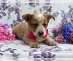 Small Australian Cattle Dog