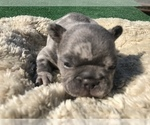 Small #37 French Bulldog