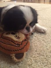 Japanese Chin Puppy For Sale in KATY, TX