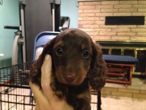 Akc dachshund puppies michigan