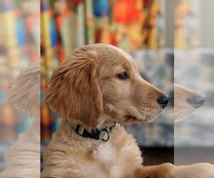 Golden Retriever Puppy for Sale in AMES, Iowa USA
