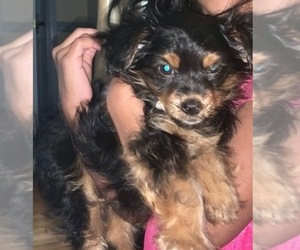 Chorkie Puppy for sale in NEW RICHMOND, OH, USA