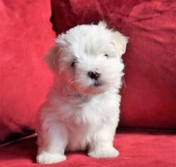 Maltese Puppy For Sale in KERMIT, WV, USA