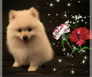 Pomeranian Puppy for sale in SAN FRANCISCO, CA, USA